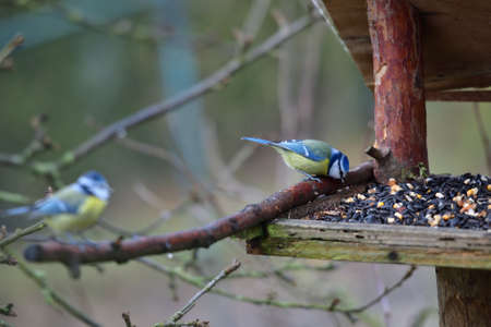 Great and blue titmouse eating on a feeder rack with sunflower