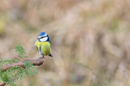 Blue Tit sitting on the branch in sunny spring forest