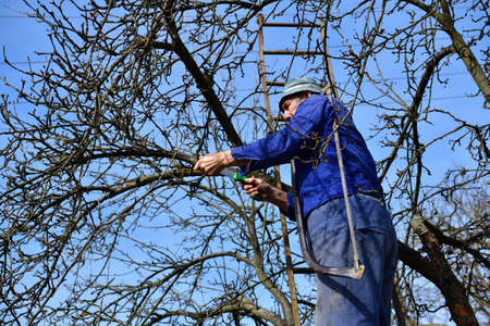 The farmer climbs the ladder to the treetops to cut a dry branch