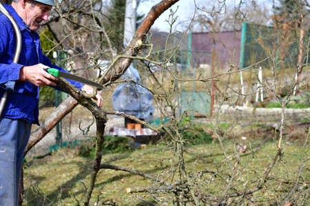 A gardener prunes fruit trees in the spring with traditional saw in hand