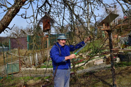 A fruit grower trims and pruns old branches of fruit trees in the spring in the garden