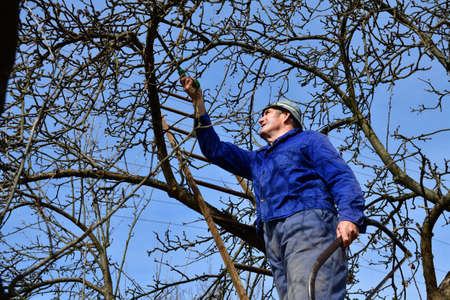 A gardener on a ladder trims dry branches of fruit trees in the garden 版權商用圖片