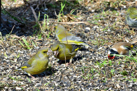 Goldfinch and Greenfinch and pine siskin  birds portrait on the grass close up