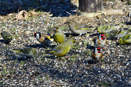 A flock of wild finch birds eating sunflower seed on the ground