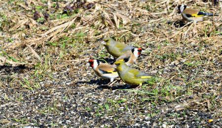 Mix of birds greenfinch and goldfinch eating sunflower from the ground
