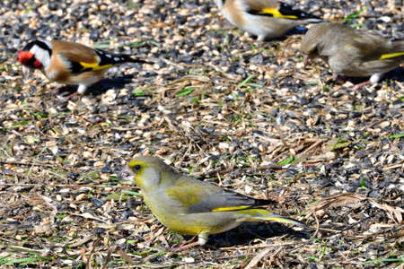 Goldfinch and Greenfinch birds portrait on the grass close up