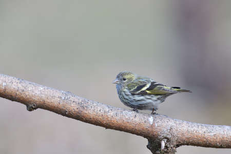 Portrait of bird pine siskin sitting on the branch in the sunny autumn 免版税图像