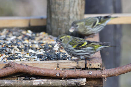 The pine siskin bird eating sunflowers on feeder rack in the spring
