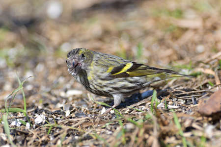 The pine siskin bird eating seeds rack from the ground