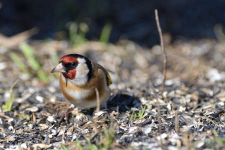 Bird goldfinch feeding of animal game and help of people loving nature