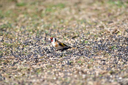 Flock of bird goldfinch eating seeds from the ground in spring