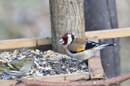Portrait of bird goldfinch eating fruits and seeds on feeder rack