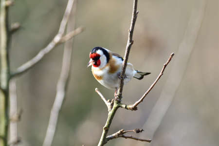 Portrait of bird goldfinch sitting on the branch in the sunny autumn