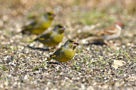 Flock of bird greenfinch eating seeds from the ground in spring 免版税图像