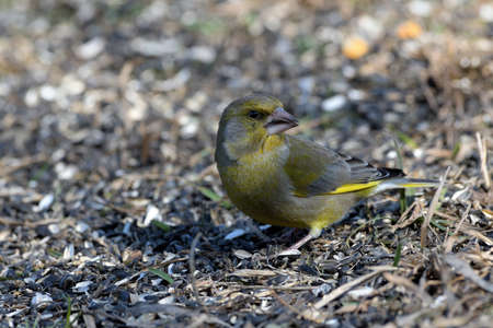 Bird greenfinch feeding of animal game and help of people loving nature 免版税图像
