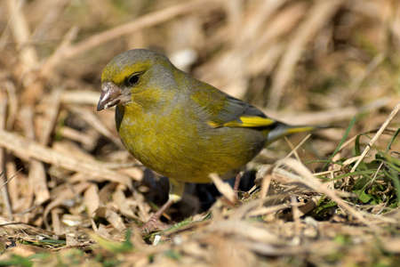 Portrait of bird greenfinch sitting on the grass in the sunny autumn