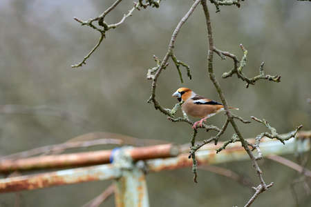 Portrait of the hawfinch sitting on tree branch in the spring 免版税图像