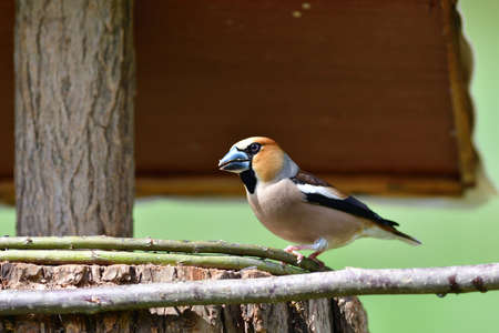 Hawfinch bird eating sunflowers and seeds on the fodder rack 免版税图像