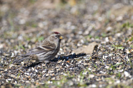 Bird Common linnet sitting on the ground and eating seeds from the grass