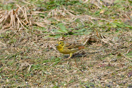 The yellowhammer bird walks on the grass looking for seed food in the spring
