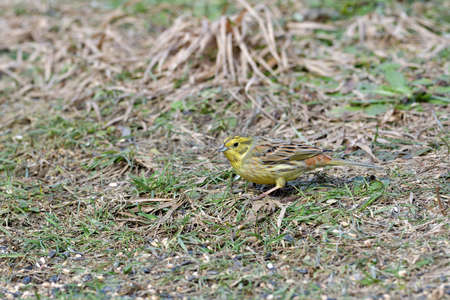 The portrait of yellowhammer with seed in its beak in the grass