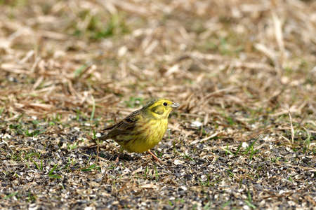Bird yellowhammer feeding of animal game and help of people loving nature 版權商用圖片
