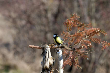Great tit sitting on a branch near forest in autumn