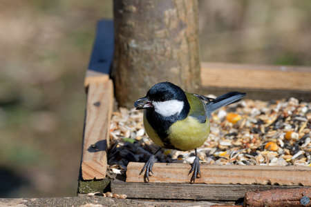 Portriat of great titmouse sitting and eating on the feeder rack in sunny spring
