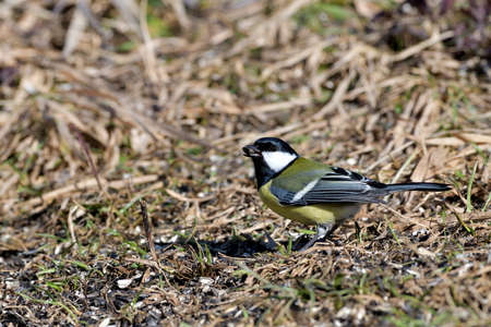 The great tit walks on the grass and eats sunflower seeds fallen from the feed 版權商用圖片