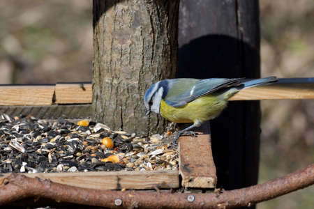 Portrait of blue tit sitting and eating on the feeder rack in spring 版權商用圖片