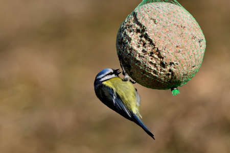 Eurasian blue tit hanging and eating tallow ball with seeds in spring 版權商用圖片