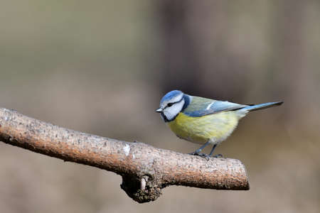 Blue tit sitting on a branch near forest in autumn