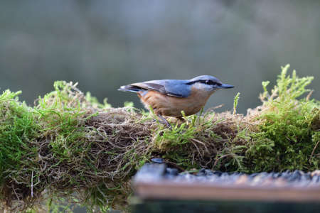 Portrait of a eurasian nuthatch eating on a feeder rack seeds and sunflowers