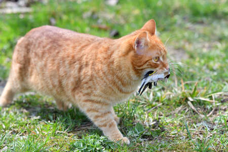 The domestic red cat caught the bird and holds it in its mouth