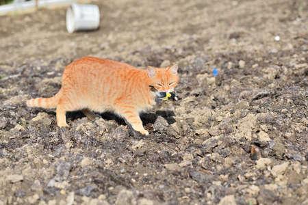 A domestic red cat caught a bird in the garden 版權商用圖片