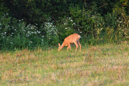 Roe deer come out from forest on a pasture in a mown field of grain