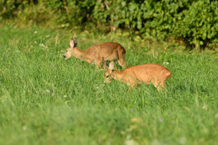 Mom deer roe with two young fawn grazes on the grass at sunset