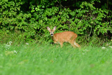 Roe deer jump into the forest before the danger from the meadow