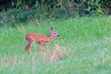 Doe deer walks across the meadow on the pasture