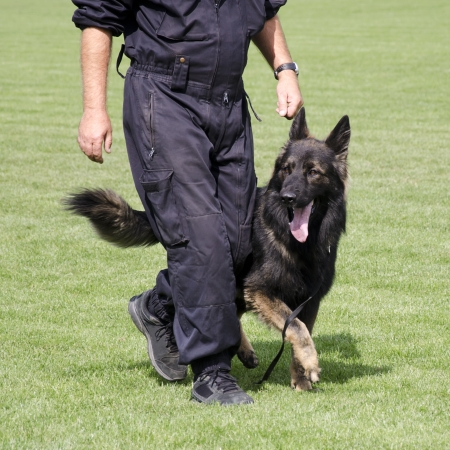 german shepard: Police dog, German Shepard, walking by the leg of a male officer during a training session  Stock Photo