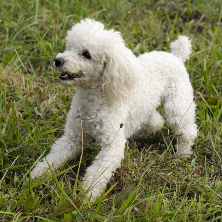 dogs playing: White poodle dog playing on grass lawn or a meadow