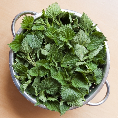 stinging nettle: Freshly cut stinging nettles in colander ready for cooking.