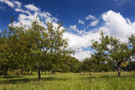 tree farming: Orchard or garden of apple trees in the summer with blue sky and white clouds  Stock Photo