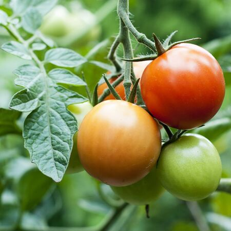 Ripe red and unripe green tomatoes on a vine on plant   photo