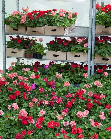 Red pelargonium or geranium flowers displayed for a sale at market or garden centre