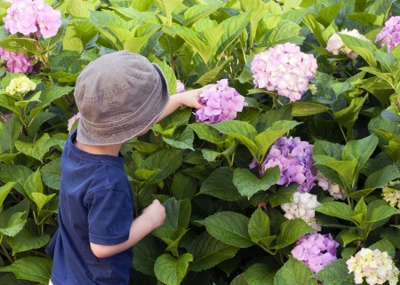 A small child, boy or girl, exploring purple flowers on a blossoming bush - Mophead Hydrangea