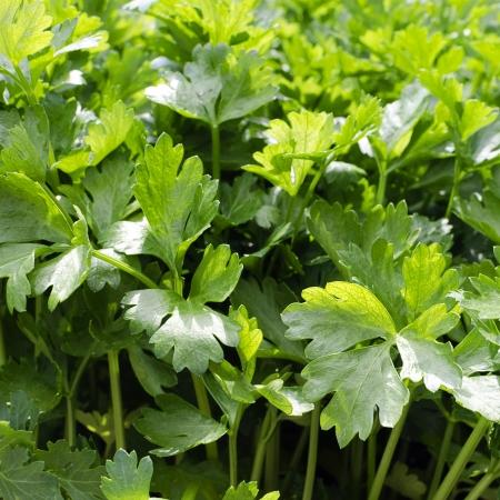 Fresh growing flat leaf pasrley background.