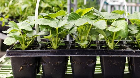 Potted plants: Strawberry plant seedlings in small plastic cntainers ready to be planted in a garden. Stock Photo