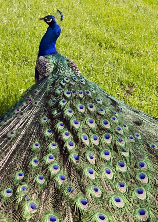 peafowl: Peacock on a  grass in a park, back view.  Stock Photo