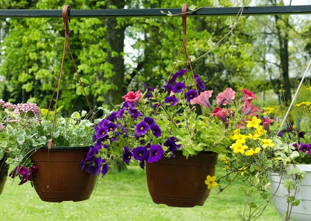 petunia: Hanging baskets with petunia flowers hanging in a garden   Stock Photo